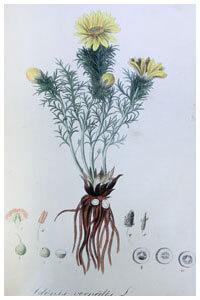 Abbildung von Adonis vernalis