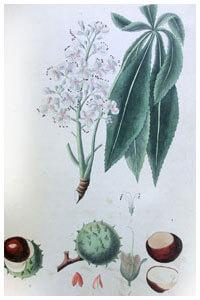 Abbildung von Aesculus