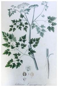 Abbildung von Aethusa