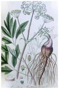 Abbildung von Angelica archangelica
