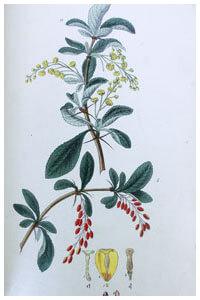 Abbildung von Berberis
