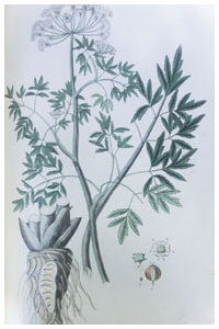 Abbildung von Cicuta virosa