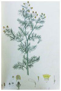 Abbildung von Lycopodium