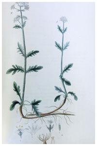 Abbildung von Melilotus officinalis