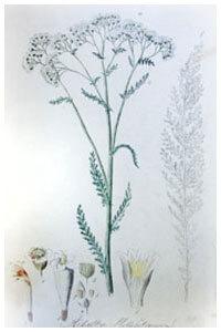 Abbildung von Millefolium