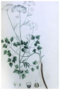 Abbildung von Petroselinum