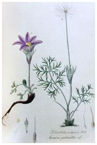 Abbildung von Pulsatilla