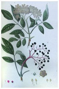 Abbildung von Salvia officinalis