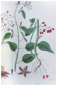 Abbildung von Sambucus nigra