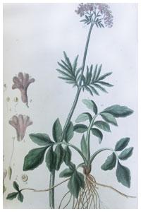 Abbildung von Valeriana officinalis