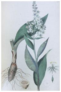 Abbildung von Veratrum album